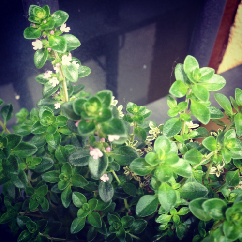 72 Smalldive Slow Living Thyme Blossoms