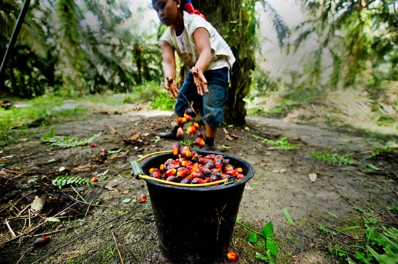 Harvesting oil palm. Palm oil is still harvesting entirely by hand.